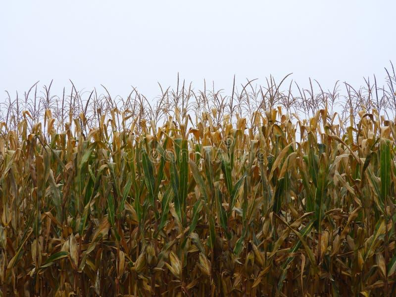 玉米庄稼几乎准备好秋天收获 图库摄影