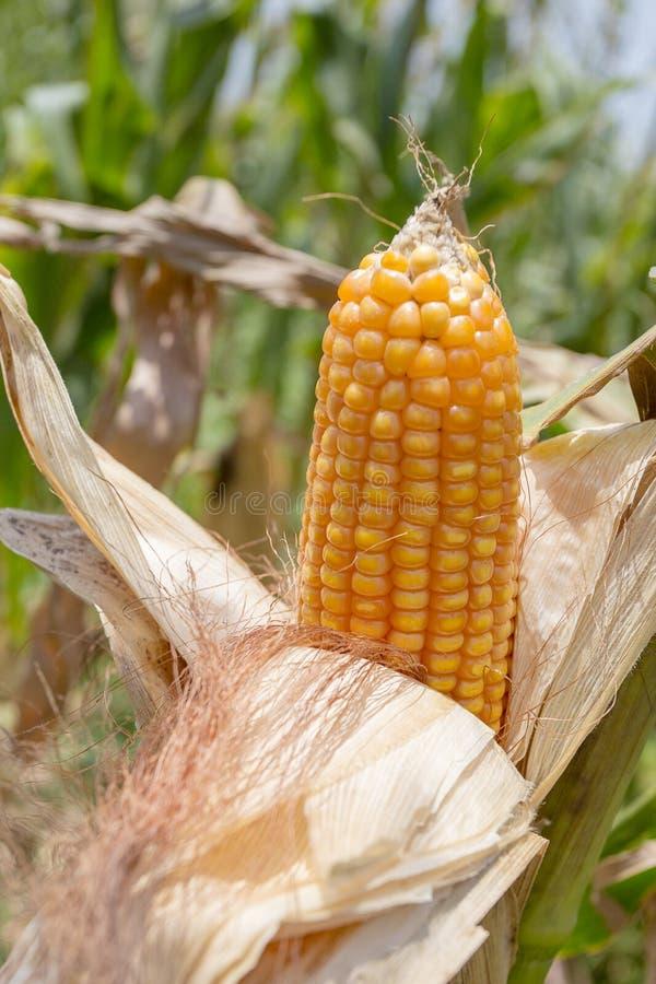 玉米庄稼, Gorpara, Manikgonj,孟加拉国 免版税库存图片