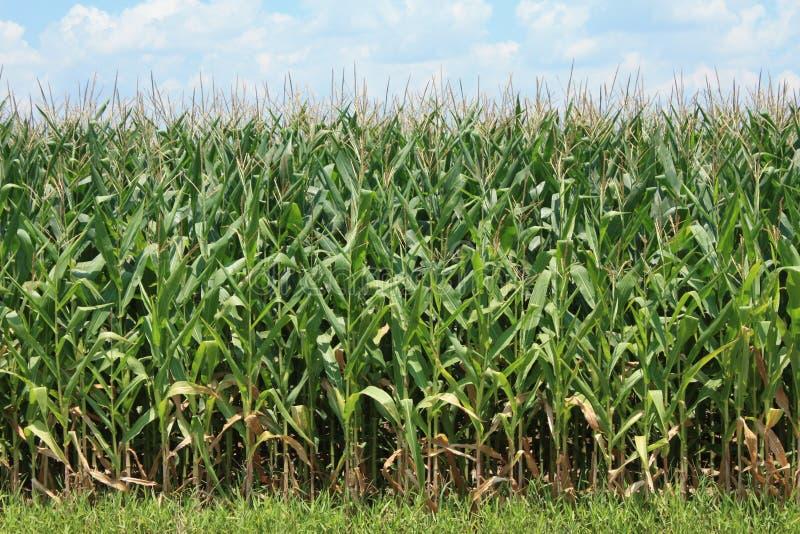 玉米庄稼 免版税图库摄影