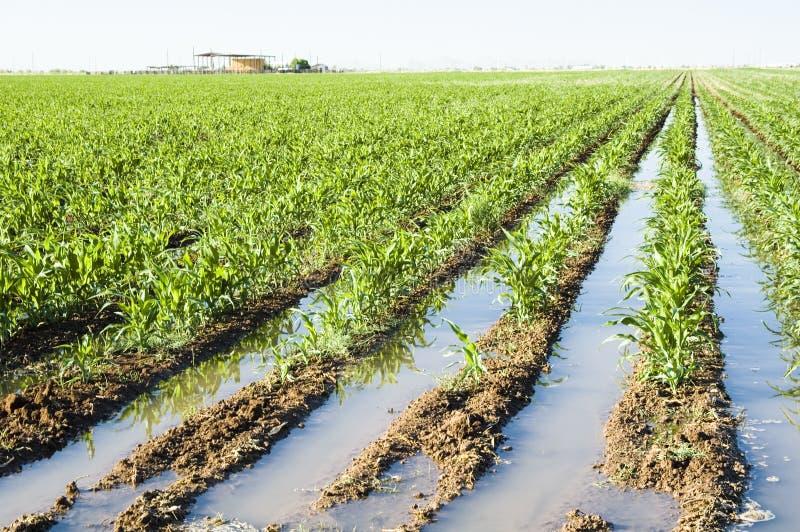 玉米庄稼 免版税库存图片