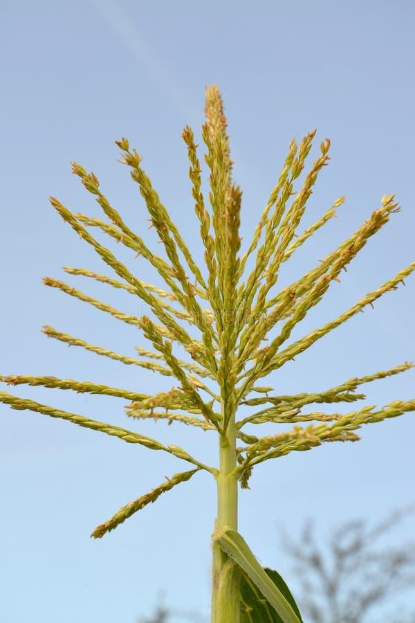 玉米开花 反对天空的人的开花 库存照片
