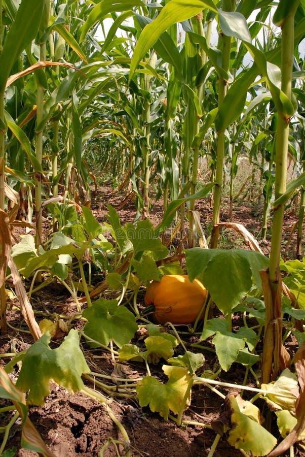 玉米成长南瓜 免版税库存图片