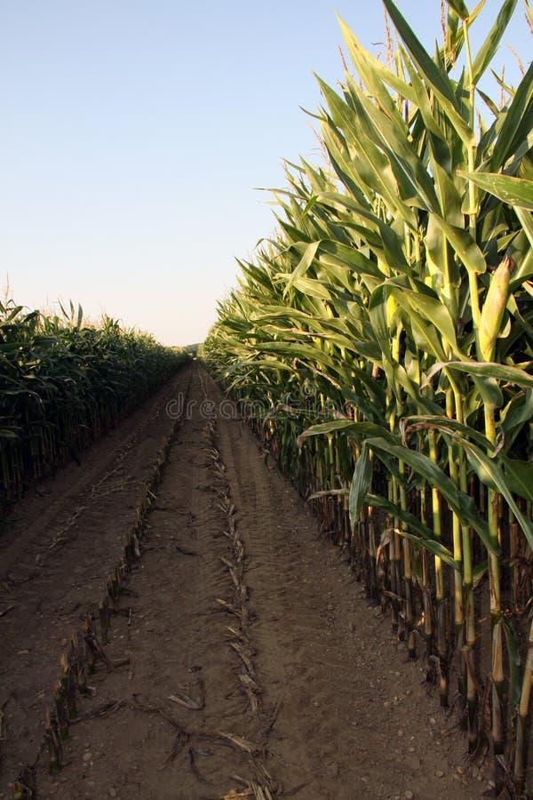 玉米收获玉米种植时间 图库摄影