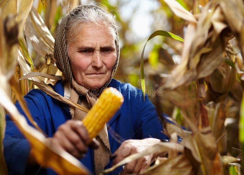 玉米收获的老女性农夫 免版税库存图片