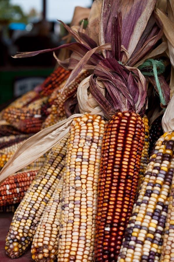 玉米收获 免版税库存照片