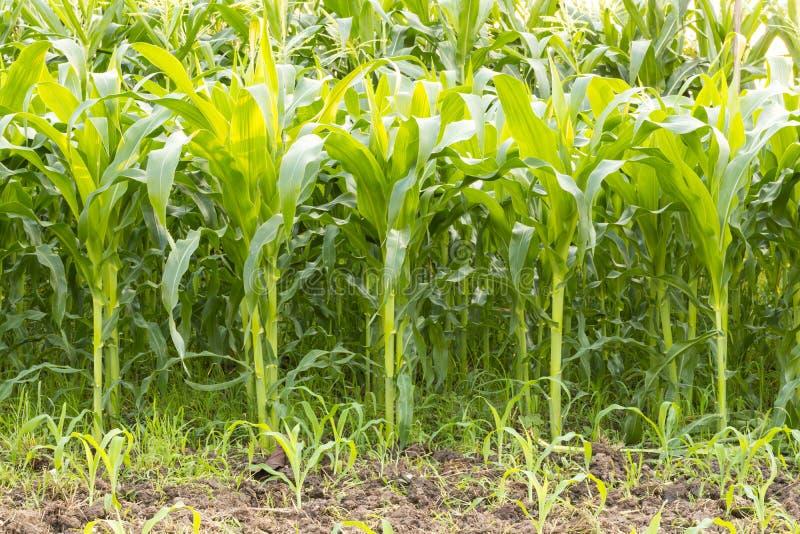 玉米新鲜的绿色叶子特写镜头  免版税库存图片