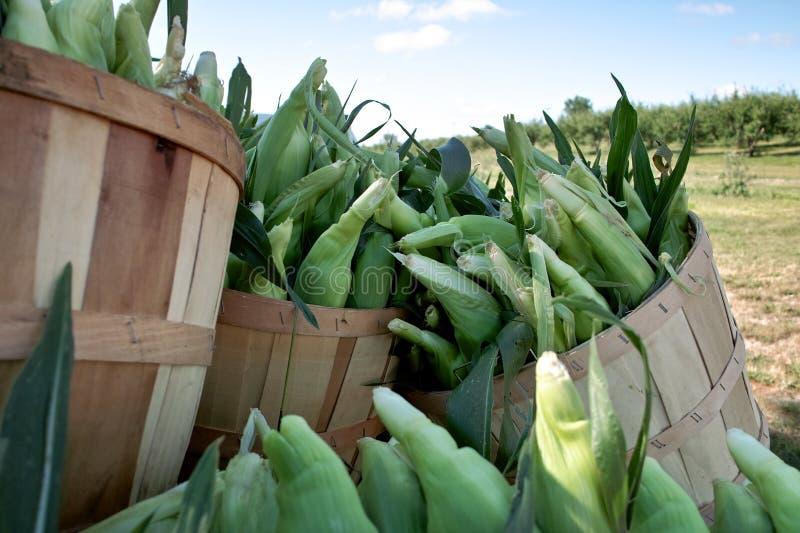 玉米新鲜的被采摘的甜点 库存图片