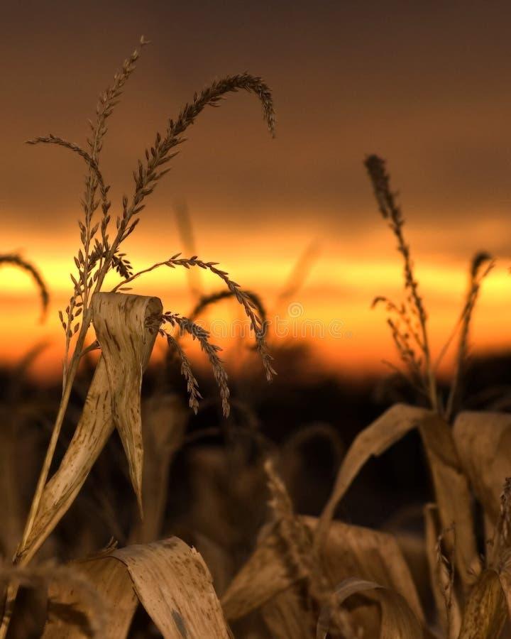 玉米日落 免版税库存图片