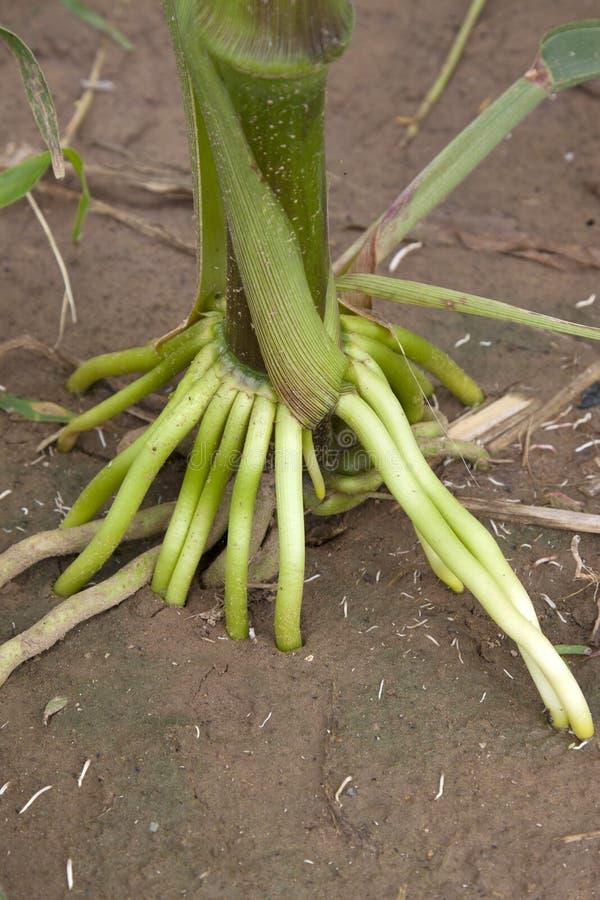 玉米根 免版税图库摄影