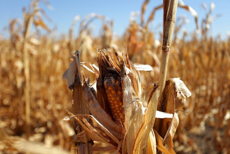 玉米棒子和天旱 库存照片