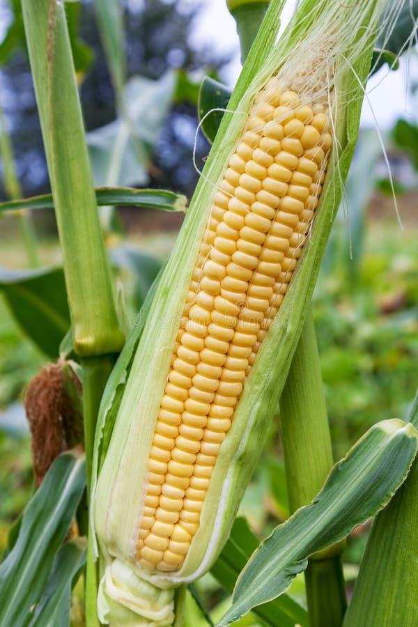 玉米棒年轻甜玉米特写镜头 免版税库存图片