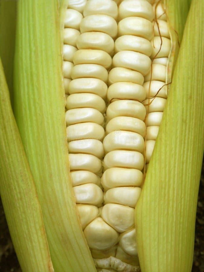 玉米棒玉米白色 免版税库存图片