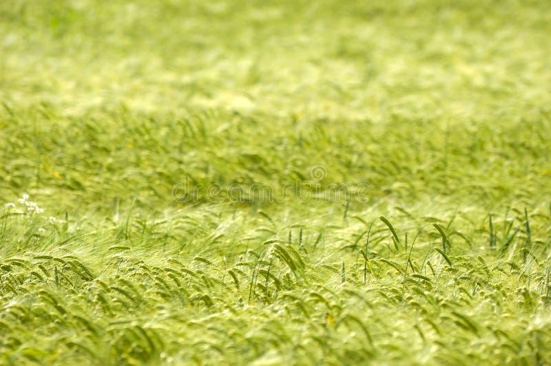 玉米模式 库存图片
