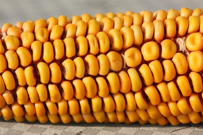 玉米烘干了 库存图片