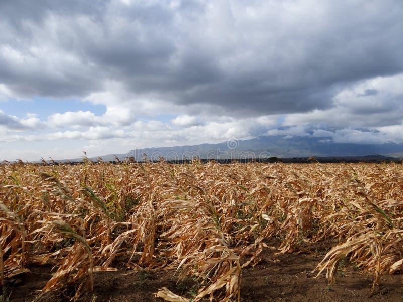 玉米玉米准备好收获 免版税库存图片
