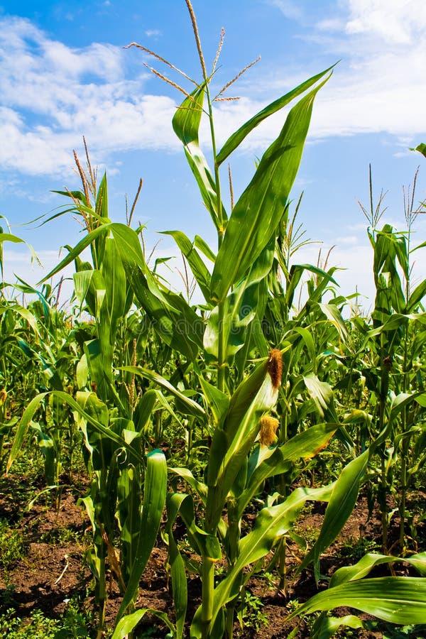 玉米甜点 免版税库存图片