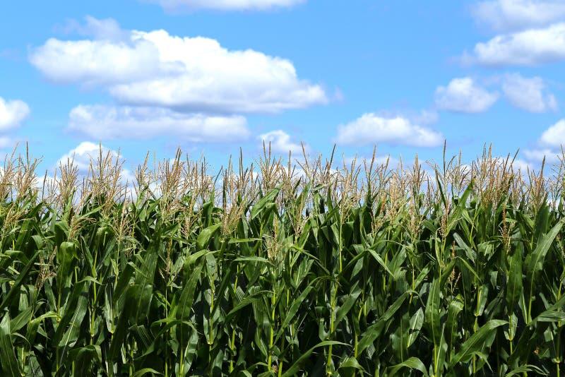 玉米田在一晴朗的8月天 库存照片