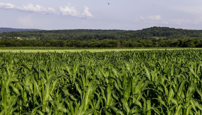 玉米田有天空蔚蓝和国家背景 图库摄影