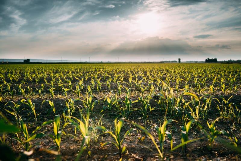 玉米田草横向天空 种植园用在春季的年轻玉米 图库摄影