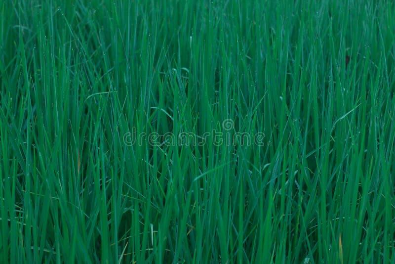 玉米田绿色米 库存图片