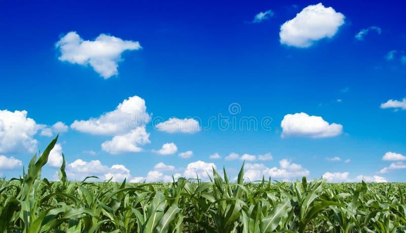 玉米田 免版税库存图片