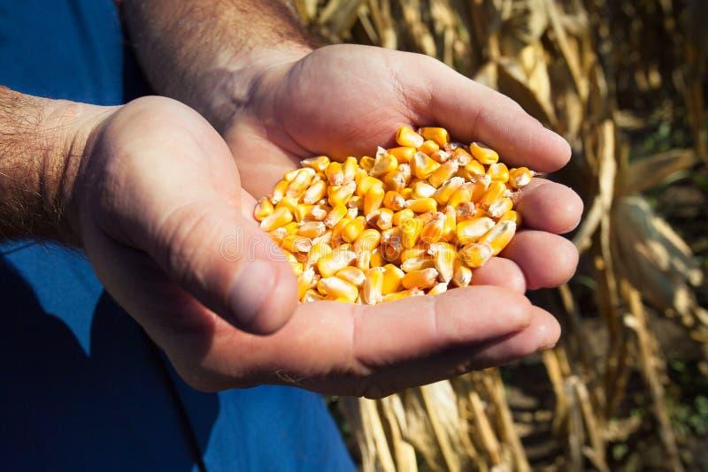 玉米种子在农夫的手上 图库摄影