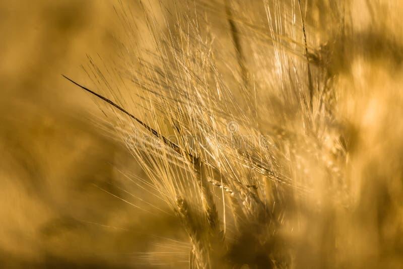 玉米穗 库存图片