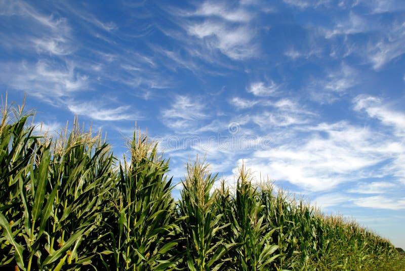 玉米绿色夏天 免版税图库摄影