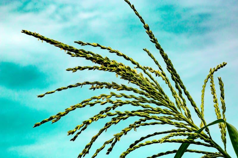 玉米缨子  免版税库存图片