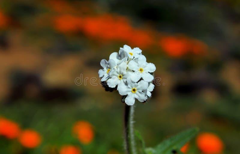 玉米花花群 库存图片