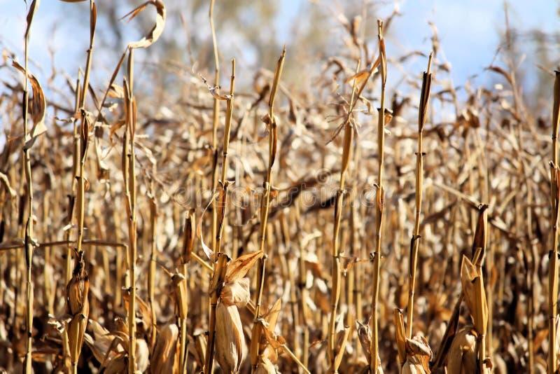 玉米茎在秋天 库存图片