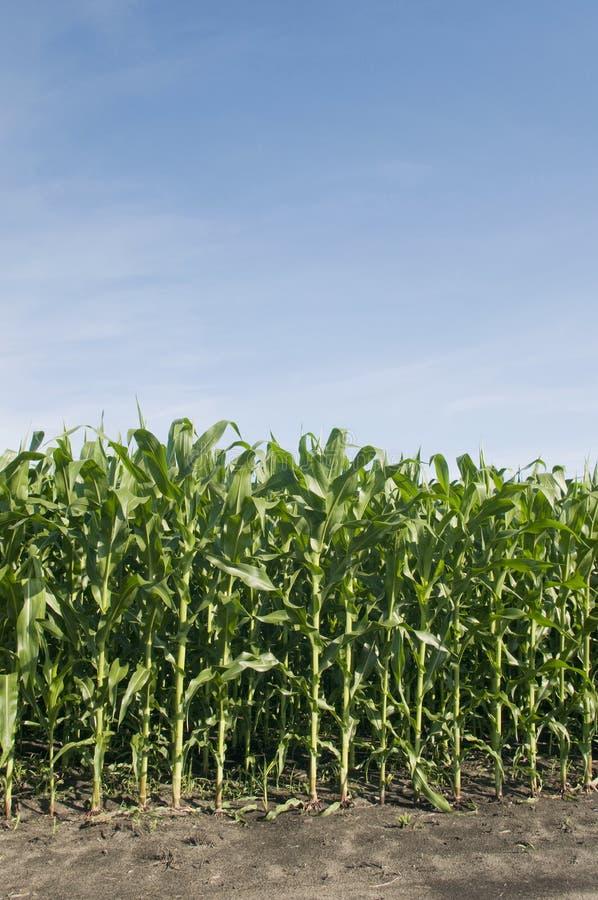 玉米行 免版税库存照片