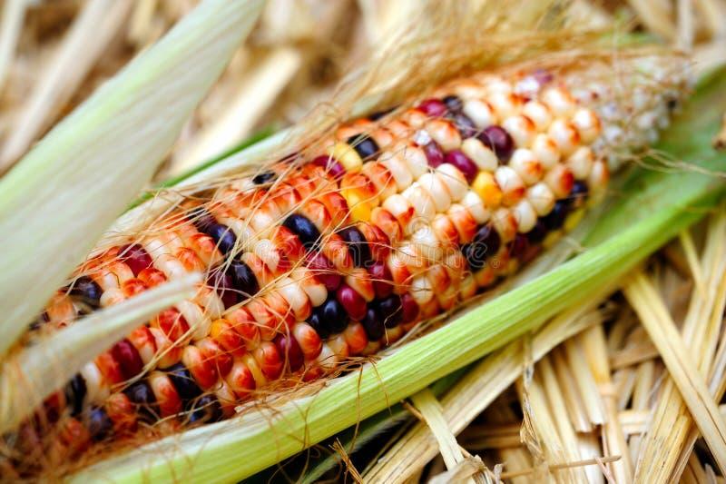 玉米装饰新鲜的印地安人 库存照片
