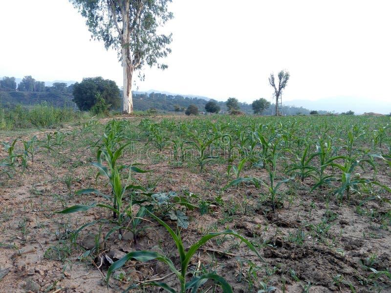 玉米领域 图库摄影