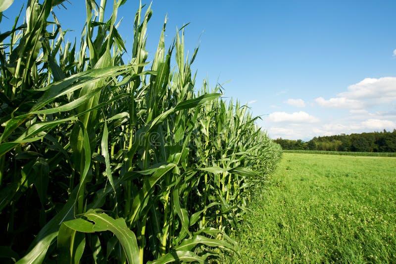 玉米饲料 库存照片