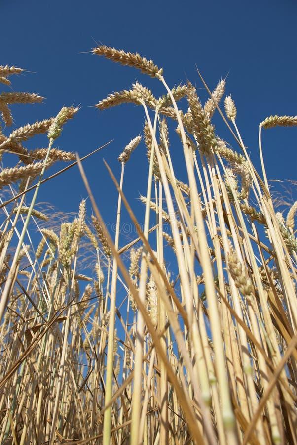Download 玉米 库存图片. 图片 包括有 种田, 食物, 成份, 问题的, 玉米, 夏天, 天空, 峰值, 玉米田 - 15691461
