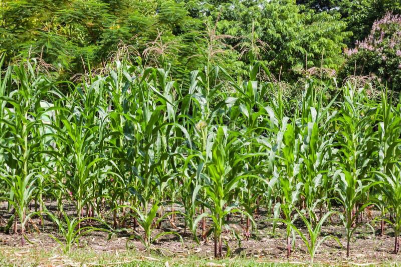 Download 玉米 库存照片. 图片 包括有 果子, 庭院, 问题的, 玉米, 新鲜, 工厂, 蔬菜, 绿色, 乡下, 食物 - 72370624