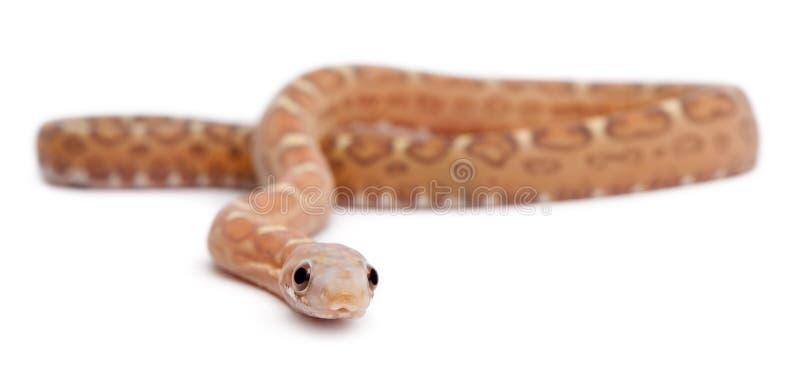 玉米guttatus pantherophis无比例尺的蛇 库存照片