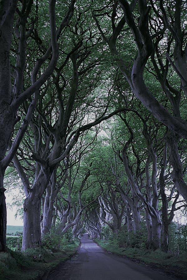 王位黑暗比赛修筑树篱N 爱尔兰 库存图片