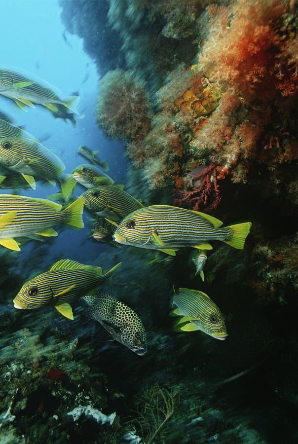 王侯聚集在洞的Ampat印度尼西亚太平洋学校东方sweetlips (Plectorhinchus orientalis)在珊瑚礁下 图库摄影