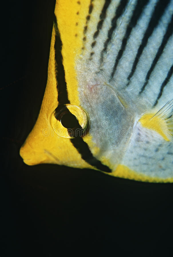 王侯Ampat印度尼西亚太平洋斑点尾巴蝴蝶鱼(Chaetodon ocellicaudus)特写镜头 图库摄影