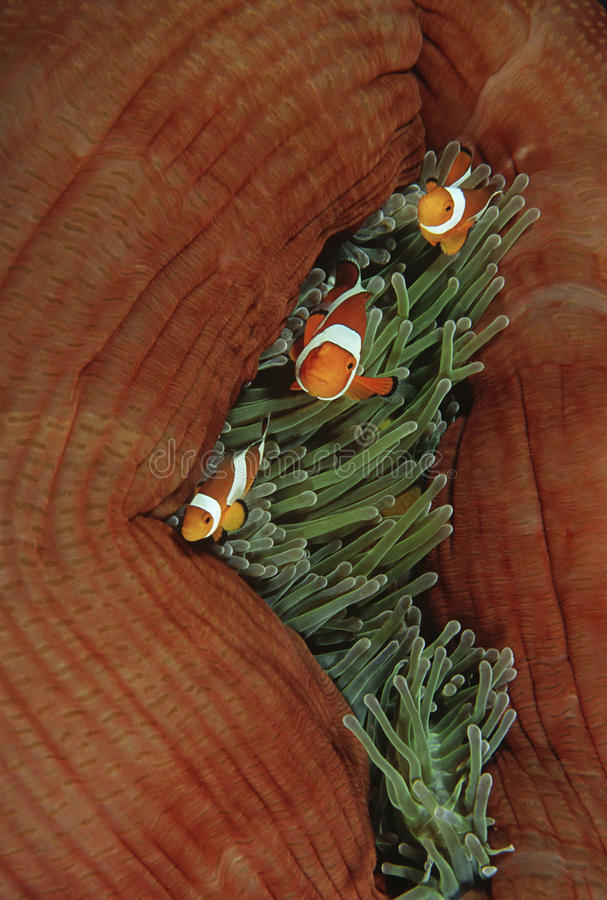 王侯Ampat印度尼西亚太平洋错误小丑anemonefish (双锯鱼ocellaris)在海葵(Heteractis magnifica) 免版税库存照片