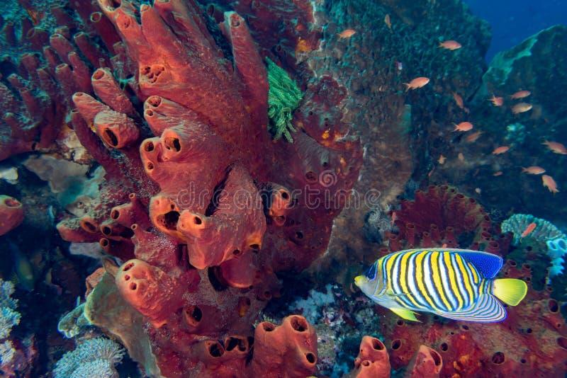 王侯Ampat,巴布亚印度尼西亚五颜六色的水下的领土  图库摄影