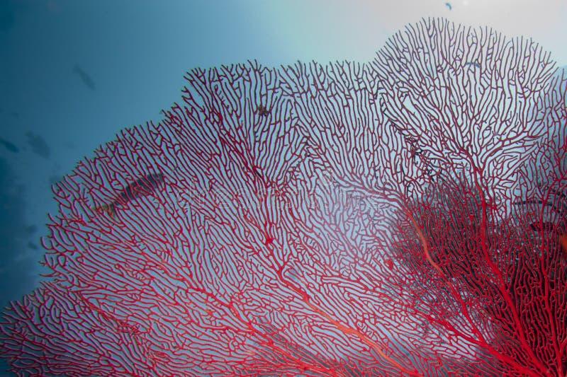 王侯Ampat巴布亚,印度尼西亚五颜六色的水下的礁石  免版税库存图片