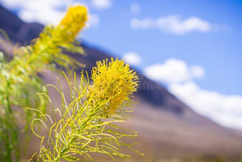 王子的羽毛开花在死亡谷国家公园,加利福尼亚的鸡冠羽毛pinnata 库存图片