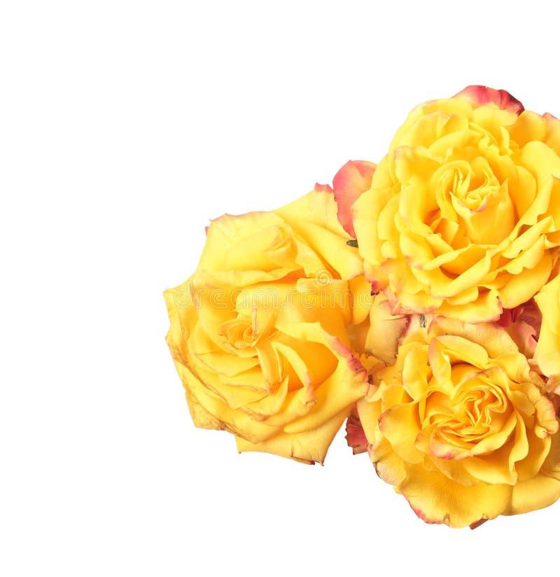 玫瑰三黄色 免版税库存照片
