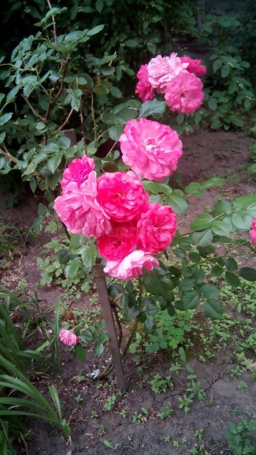 玫瑰丛在庭院里 免版税库存图片