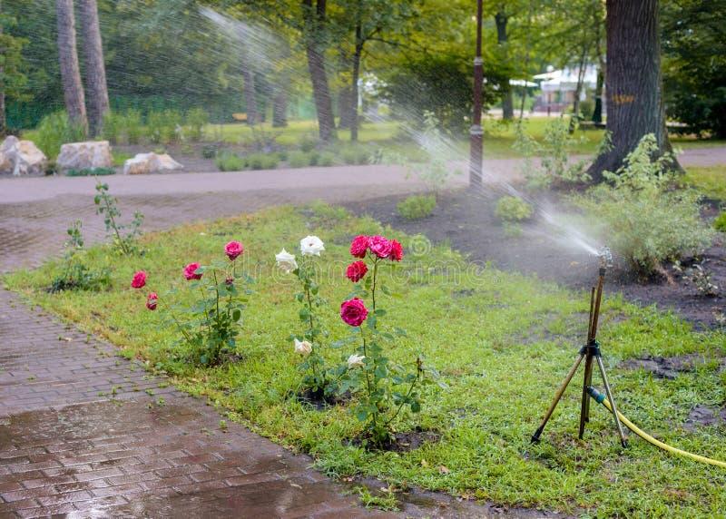 玫瑰丛浇灌 免版税图库摄影