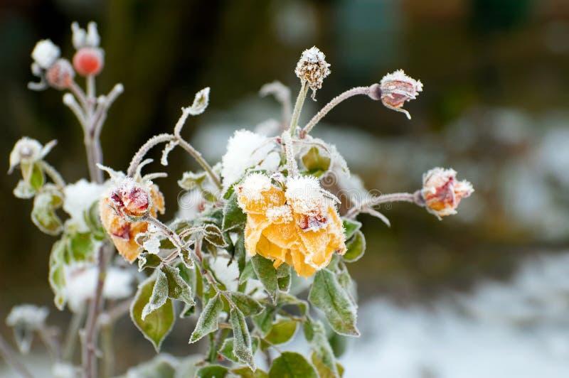 玫瑰冬天 库存图片