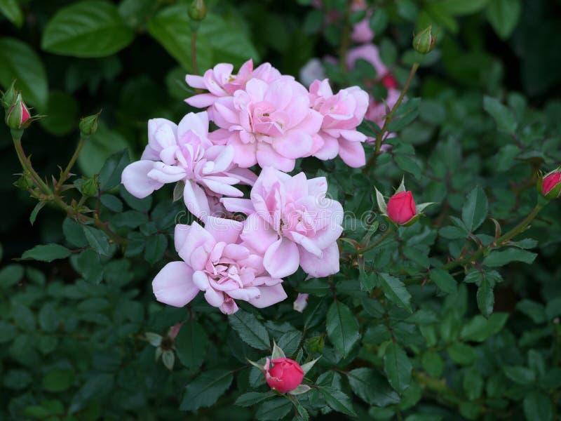玫瑰别致的绿色灌木与厚实的叶子的 精美桃红色瓣和完整的红色芽 免版税库存图片